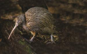Kiwi bird waitomo