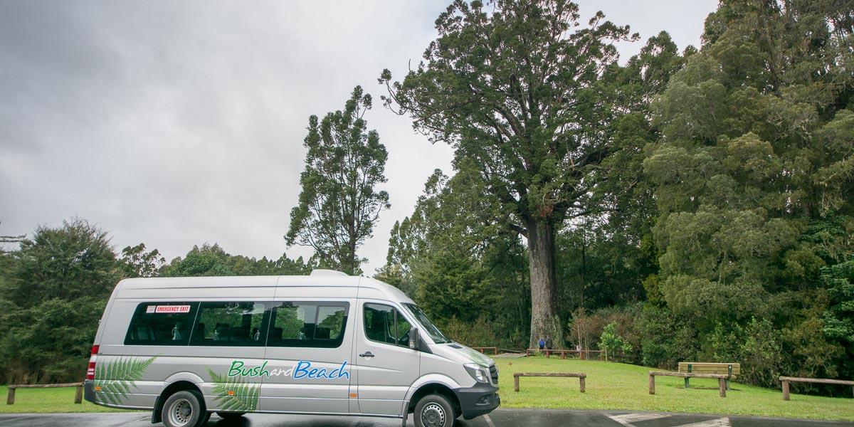 Kauri Tree in Warkworth